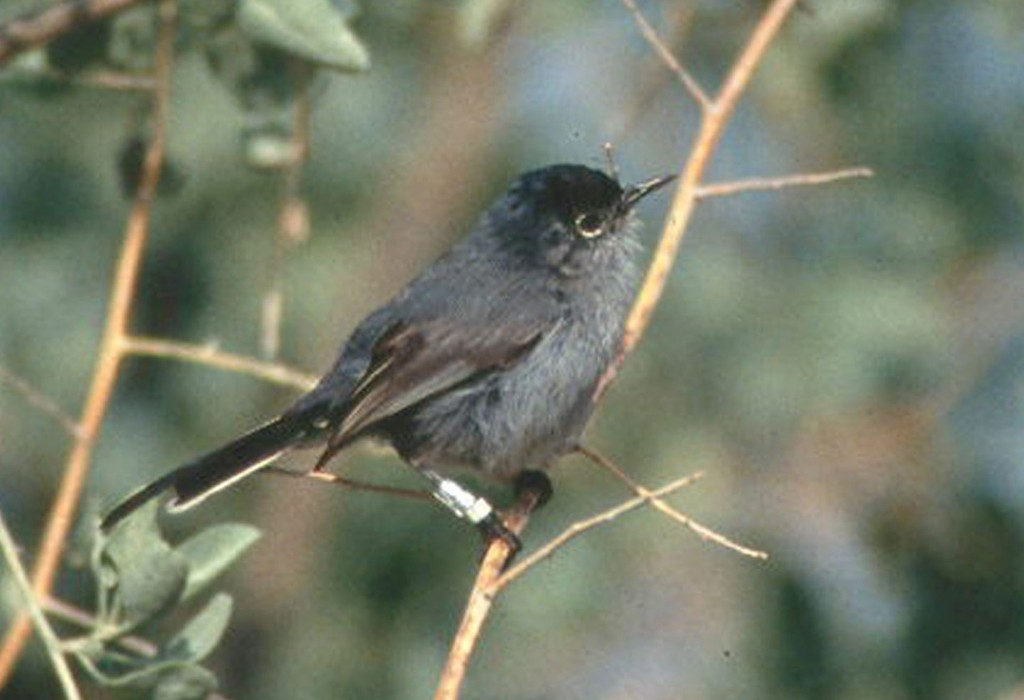California_Gnatcatcher