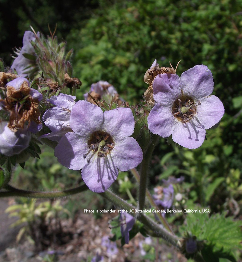 Phacelia bolanderi at the UC Botanical Garden, Berkeley, California, USA