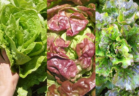 3_lettuce_mix_large