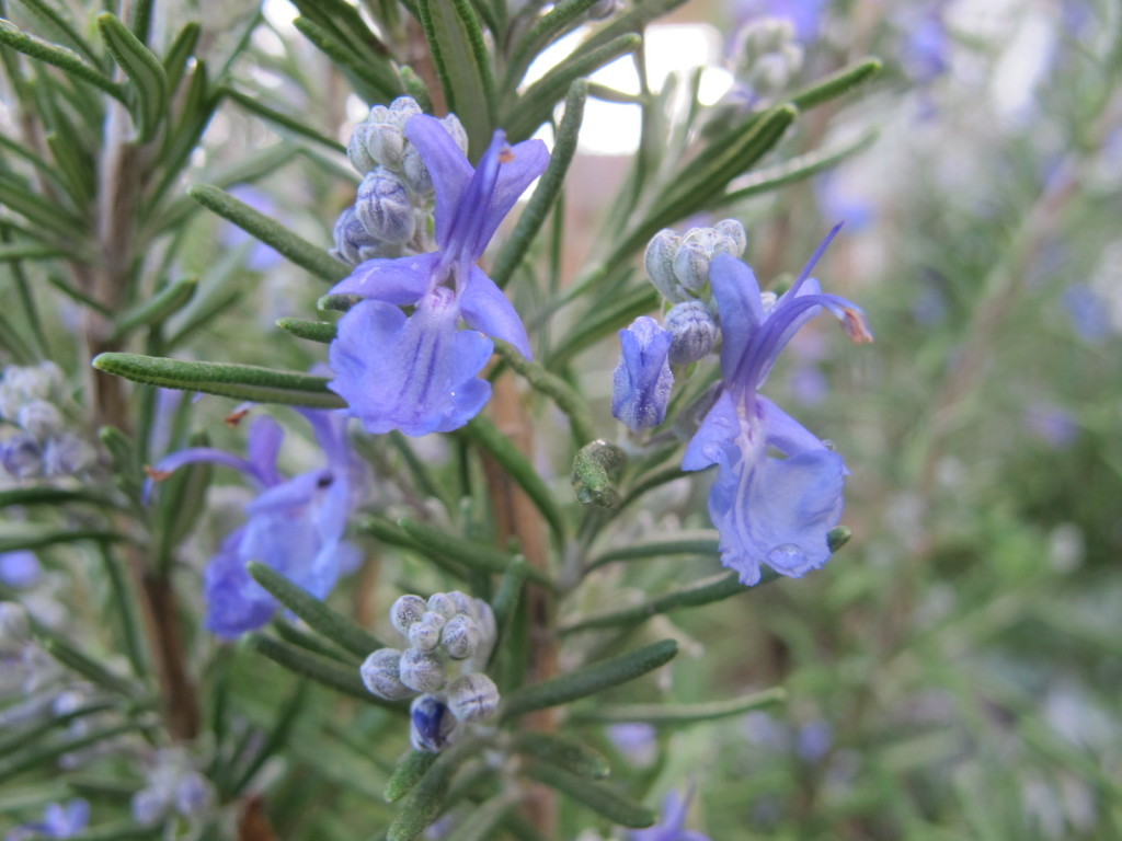 Rosemary_in_bloom