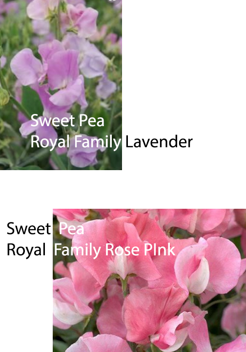 sweetpeaRoyalFamily